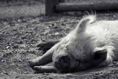 Pig sleeping in summer sunshine Royalty Free Stock Images