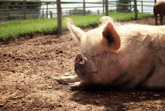 Pig sleeping in the sunshine Stock Photos