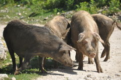 Pig. Slowly running pigs, farm animals on a gravel road royalty free stock photo
