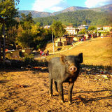 Pig in the slums Stock Photography