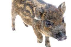 Pig  small Royalty Free Stock Photos
