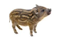Pig  small Stock Photography