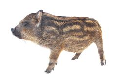 Pig  small Royalty Free Stock Photography