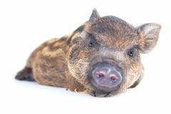 Pig  small Royalty Free Stock Photo