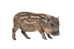 Pig  small Stock Image