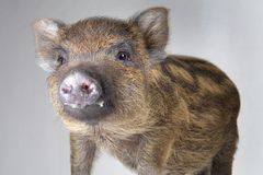Pig  small Royalty Free Stock Images