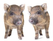 Pig  small Royalty Free Stock Photos