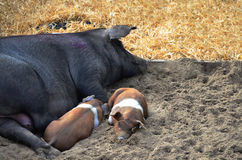 Pig with small pigs sleeping Royalty Free Stock Photo