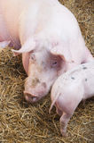 Pig and small pink pigs Stock Photos