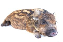 Pig  small sleeping Royalty Free Stock Image