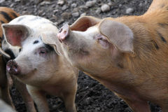 Pig Smells. Lovely pig smells the air for something to eat royalty free stock photo