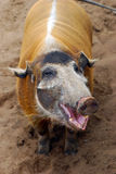 Pig smiles Royalty Free Stock Image
