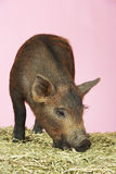 Pig Sniffing Food On Hay Stock Photos