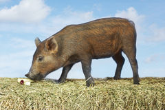 Pig Sniffing Food On Hay Stock Photography