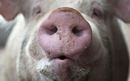 Pig Snout. Closeup of a pig's snout Royalty Free Stock Images
