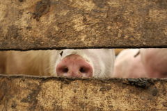 Pig snout Stock Image