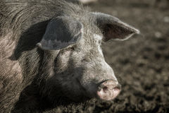 Pig snout close up Royalty Free Stock Image