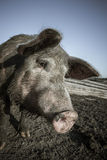 Pig snout close up Stock Photography