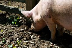 Pig snout digging in mud Stock Photo