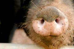 Pig snout. Muddy pig snout close-up stock photography