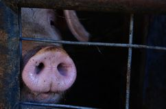 Pig snout Royalty Free Stock Photos