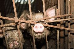 Pig snout sticking out of the fence Stock Photo