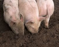 Pig Snouts in Mud. Two piglets on a biological farm digging in the mud with their snouts Stock Image