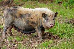 Pig sow Royalty Free Stock Photo