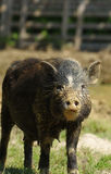 Pig sow little black Stock Image