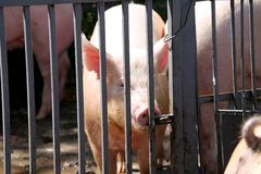 Pig sow looking over meatal fences Royalty Free Stock Photo