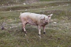 Pig sow swine Stock Photos