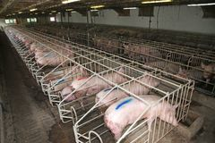 Pig sows lay in a metal cage at an industrial animal farm