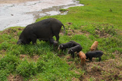 Pig-Sows and piglets. Pigs in northern China.Sows and piglets Royalty Free Stock Photography