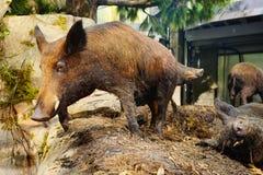 A pig specimen. A big wild pig specimen, taken in Memphis Royalty Free Stock Image