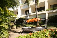 Pig on a spit on the grill, roast pork in the process. One piglet on a spit on the grill, roast pork in the process royalty free stock photo