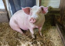 Pig in a stable Stock Image