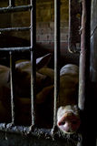 Pig in a stable. Dirty pig in a stable stock photo