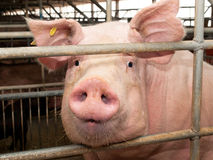 Pig in stable. Pic of Pig in stable Stock Photo