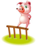 A pig standing above the wooden fence Royalty Free Stock Photo