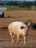 Pig standing in muddy field Royalty Free Stock Photography