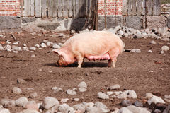 Free Pig Standing On The Backyard Royalty Free Stock Photo - 9532075