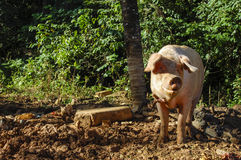 Pig standing Royalty Free Stock Photos