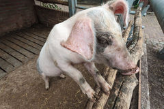 Pig standing in stable Royalty Free Stock Photos