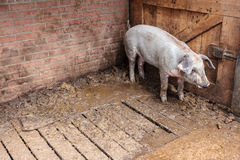 Pig standing in a stable Stock Images