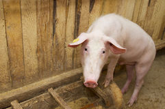 Pig standing up stock images