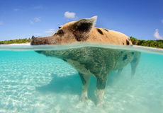Pig standing in water. Split image, half above half underwater, of large wild pig standing in the water on a sunny day at Big Majors Cay, Bahamas royalty free stock image