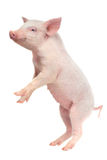 Pig. Standing pig on a white background. studio Stock Photo