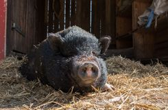 Pig on the straw. A thick furred pig spread on the straw Royalty Free Stock Photo