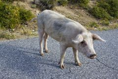 Pig on a Street of Corsica Stock Photo