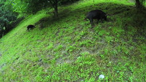 Pig on street stock video footage